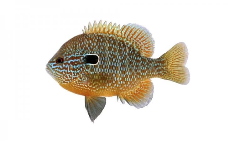 Sunfish - Orlando Fishing - heavier tackle