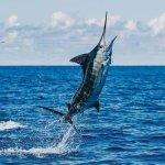 Blue Marlin in Miami - Deep sea fishing