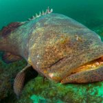 Black, Red, & Gag Grouper in Miami Fishing