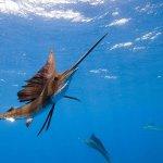 Sailfish in Miami Fishing - Fastest fish