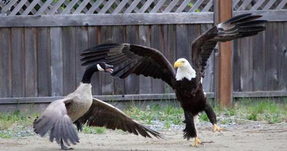 Incroyable bataille entre un aigle et une bernache!