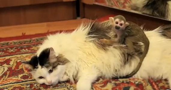 Un chat de 16 ans adopte un singe de 3 semaines