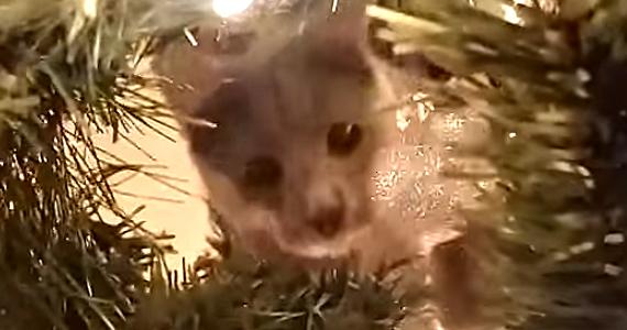 À peine l'arbre monté, le chat sent le besoin de défendre la famille!