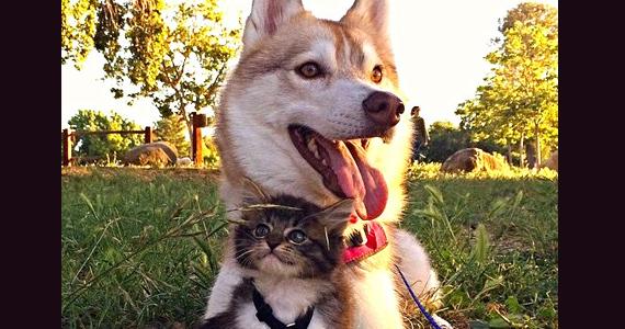 Lilo, un husky devient l'infirmière d'un minuscule chaton qui lutte pour sa vie