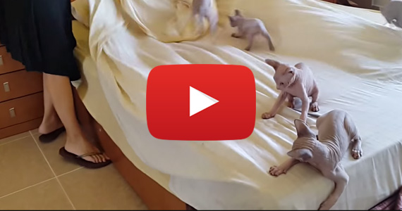 These Crazy Kitties Love Making the Bed!