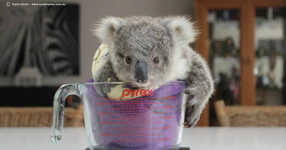 This Tiny Koala Will Melt Your Heart