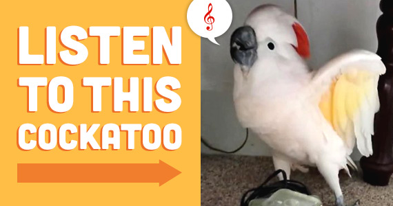 Listen to this Cockatoo When Learns He's Going to the Vet