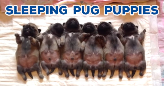 The Cutest Sleeping Pug Puppies You'll Ever See
