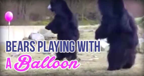 This Video of Bears Playing with a Balloon is Going Viral