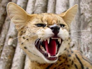 serval-african-cat_422_3757.jpg