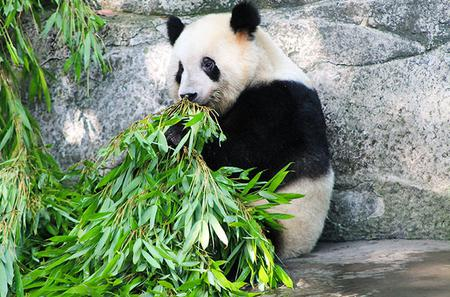 Private Day Tour of Chongqing City Highlight With Pandas of Chongqing Zoo Including Hot Pot Lunch