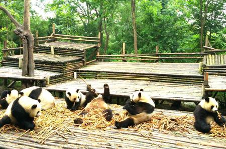 Private Half-Day Panda Base Trip from Chengdu