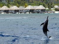 Moorea Scientific Dolphin and Whale Watching Expedition with a Cetacean Specialist