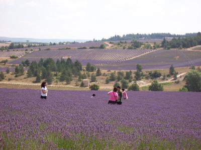 Lavender Tour Full day from Arles