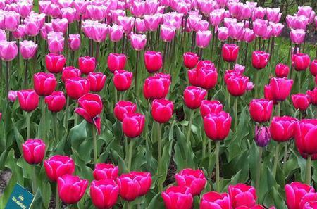 Amsterdam Shore Excursion: Keukenhof Gardens and Tulips Fields Tour