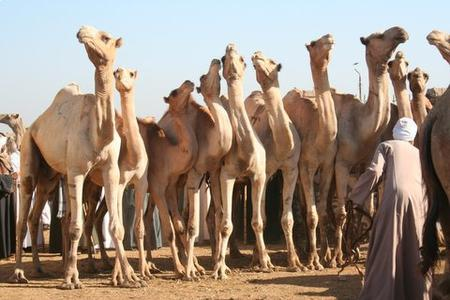 Daraw Camel Market Half-Day Tour