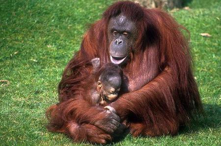 Half-Day Semenggoh Orangutan Centre Tour from Kuching