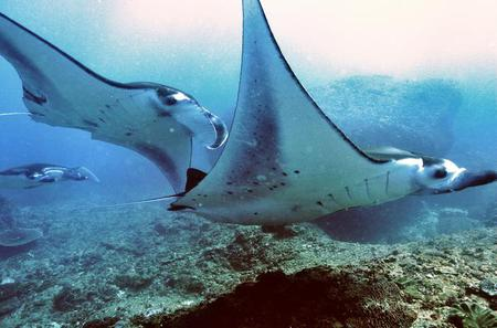 Diving with Manta Rays for Certified Divers at Padangbai Beach