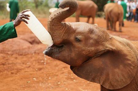 Half-Day Daphne Sheldrick Wildlife Trust - Elephant Orphanage Tour from Nairobi