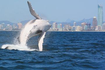 Morning or Afternoon Gold Coast Whale Watching Cruise