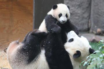 Half Day Tour: Chengdu Giant Panda Bear Research Center with One-Way Airport Transfer
