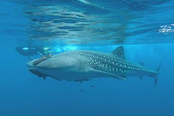 Journey to the Sea of Cortez and Whale Sharks: 5 Day Expedition