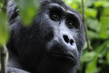 4-Day Fly-In Gorilla Tracking Safari from Entebbe