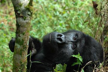 4 Days Flying Gorilla Safari From Uganda