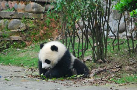 Panda Volunteer at Dujiangyan Panda Base