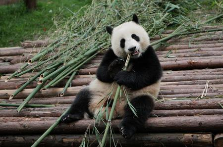 Half-Day Tour at Chengdu Panda Breeding Research Base