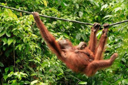 Full-Day Orangutan Excursion and City Tour in Sandakan