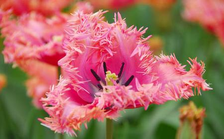 Keukenhof Tulip Fields & Bulb Farm Full-Day Tour