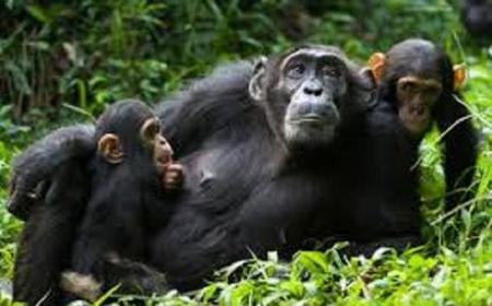 4 Day Chimpanzee Tracking Tour from Entebbe