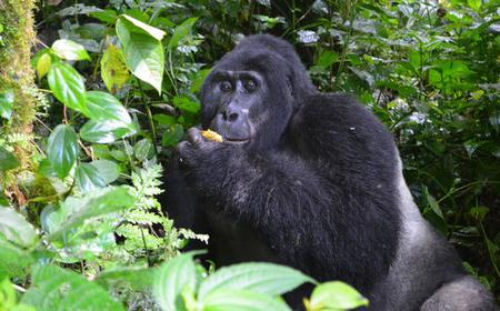 4 Day Gorilla Experience Tour from Entebbe