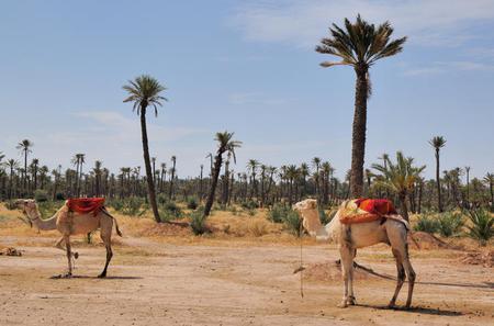 Small-Group Tour: Camel Ride through the Palm Grove of Marrakech