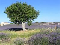 Lavender and Villages in Luberon - Private Tour