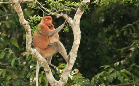 Full-Day Sepilok Orangutan & Labuk Bay Proboscis Monkey