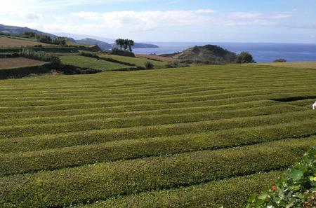 Azores - Walking and Guied Tour in Tea Plantation