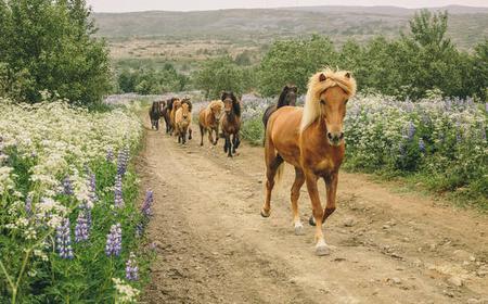 From Reykjavik: 2-Hour Icelandic Horse Lava Riding Tour