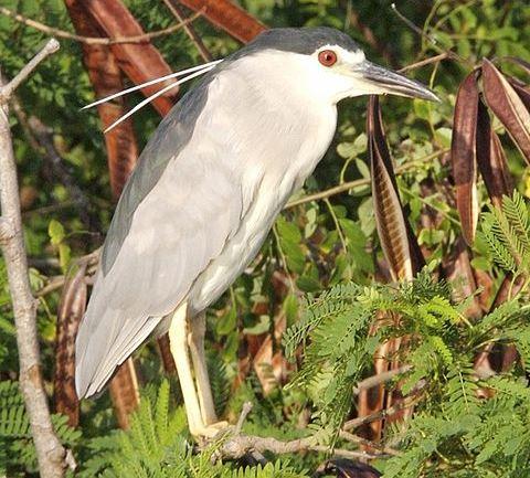 Petulu Heron Viewpoint
