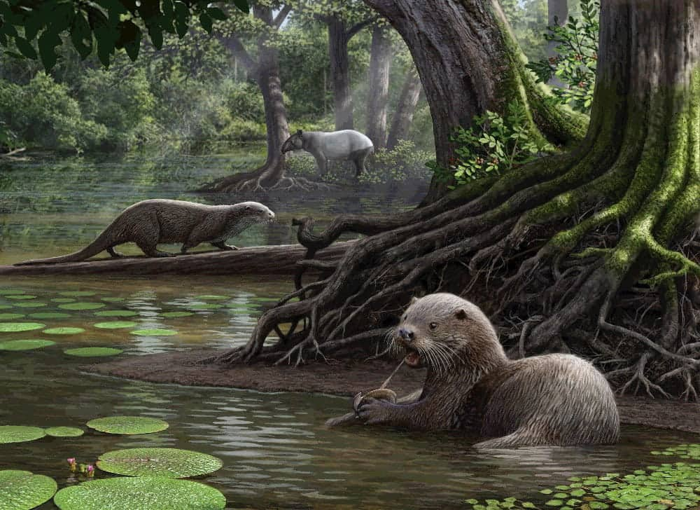 Artist's reconstruction of two individuals of Siamogale melilutra sp. nov., one of them feeding on a freshwater clam. The tapir in the background is Tapirus yunnanensis. Aquatic plants include water chestnut (Typha) and fox nut (Euryale) and the low shrub in foreground is Sichuan peppercorn (Zanthoxylum). See National News story NNOTTER: A wolf-sized otter weighing close to eight stones once roamed the Earth's ancient swamps, a new study revealed. The ancient species was almost as twice as large of present day otters and had features similar to an otter and a badger. It also had powerful jaws to crunch large shellfish and freshwater mollusks which would have been their main food. The otter named Siamogale melilutra lived some six million years ago and belongs to an ancient lineage of extinct otters, which goes back at least 18 million years.