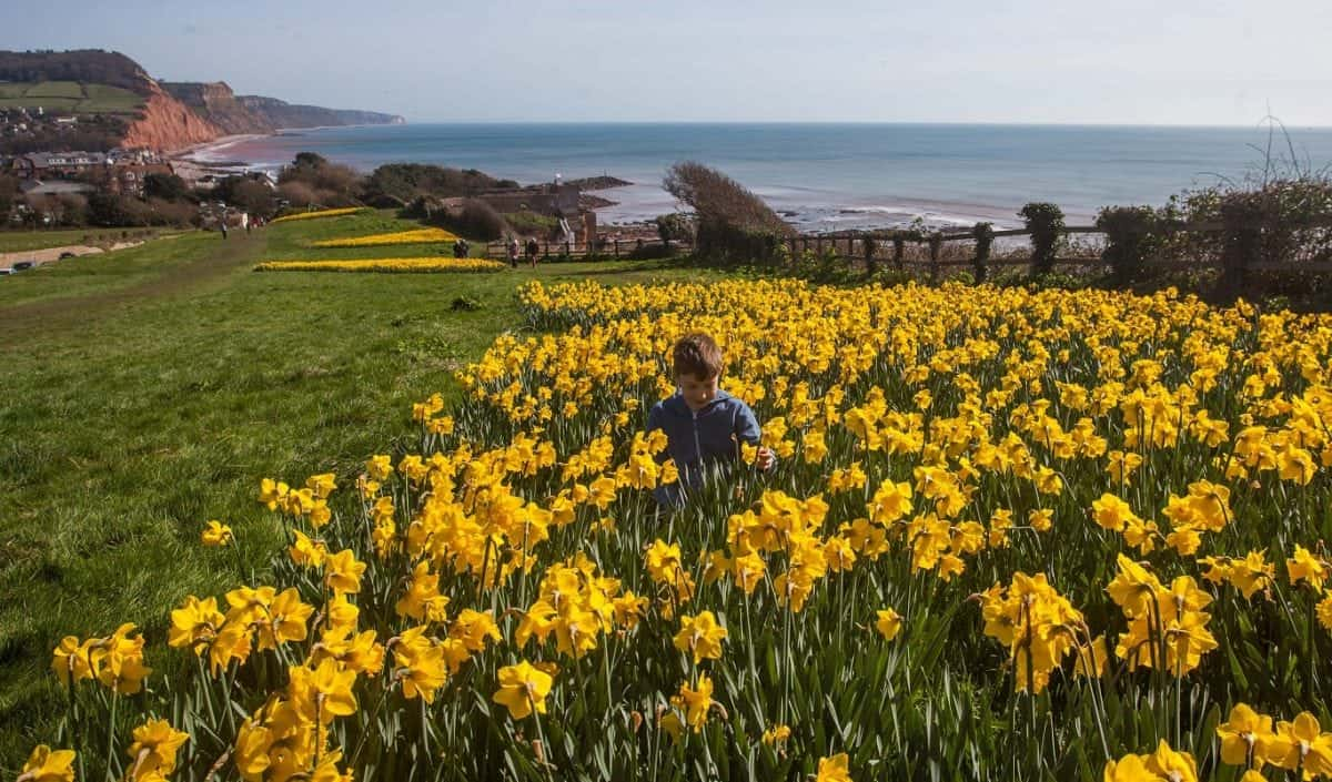 Thomas aged 11, plays amongst daffodils that have come into bloom in Sidmouth, Devon. 13/03/2017  See SWNS story SWDAFFS; These photos show a seaside resort lit up by a stunning sea of daffodils thanks to the dying wish of a millionaire. Wealthy ex-pilot Keith Owen left £2.3m in his will to create a 'valley of a million bulbs' in Sidmouth in south Devon. Mr Owen, a US businessman, made the unusual bequest after falling in love with the pretty seaside town. His wish was fulfilled - and now the sweeping swathes of stunning daffodils illuminate the town each spring.