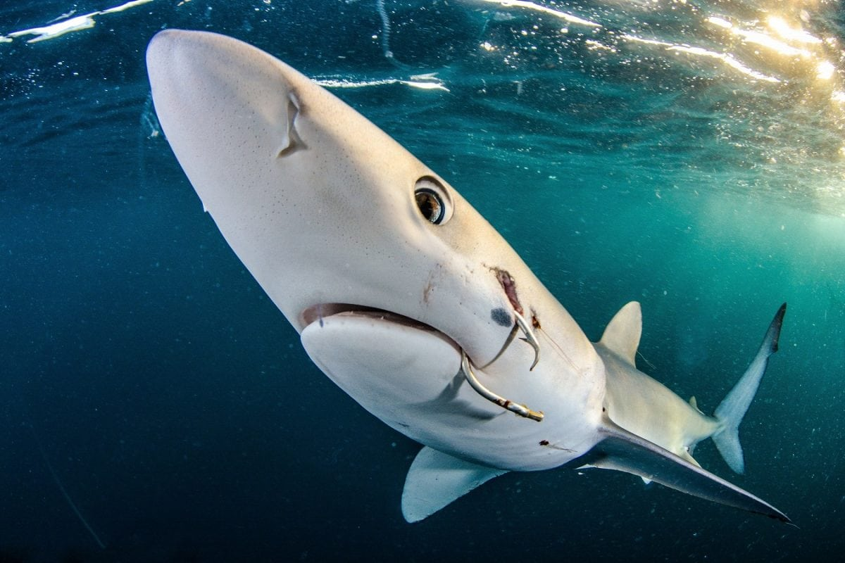 Gold in Sharks category - Jim Machinchick from the US. Blue shark with a hook in its mouth taken in the US. Credit;SWNS