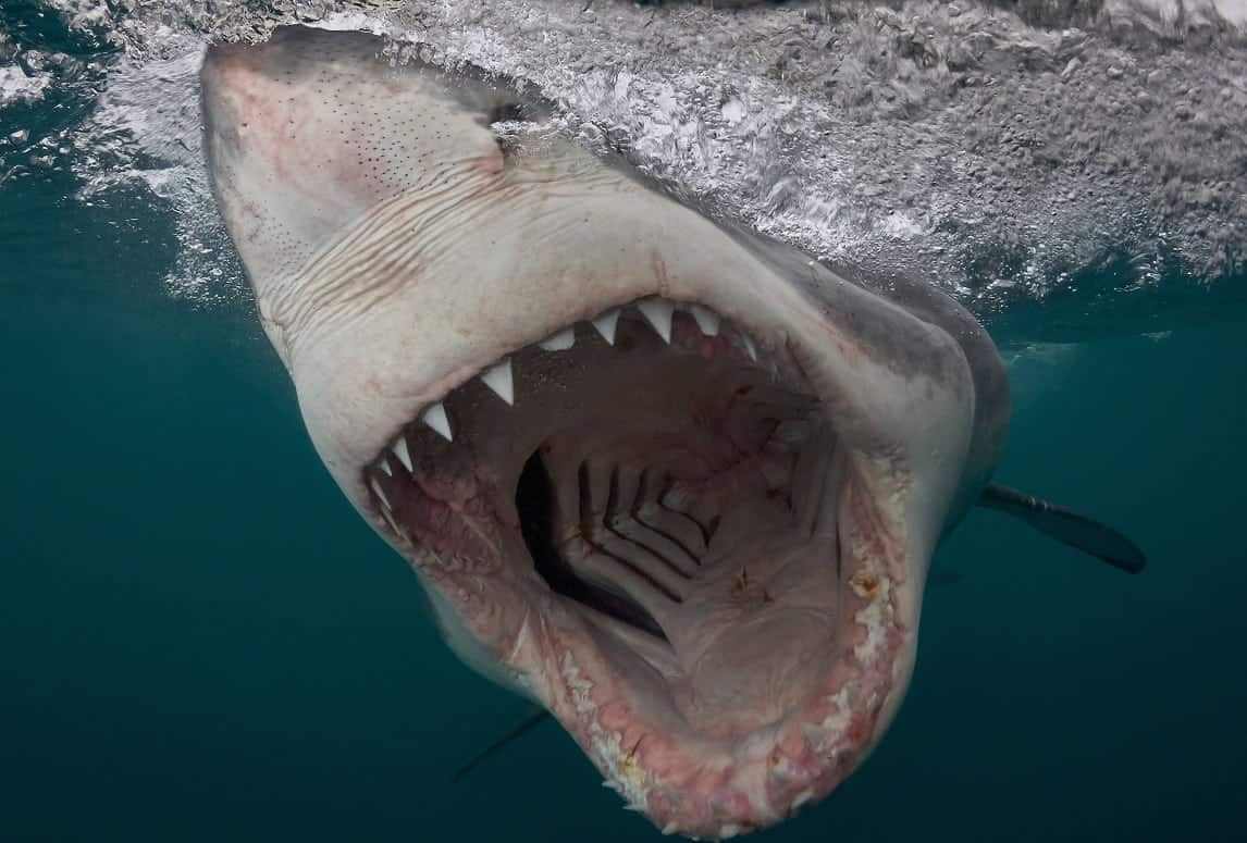 ***EMBARGOED UNTIL 00.01AM GMT FRIDAY17 MARCH 2017***Bronze in Sharks category - Chris Perkins from South Africa. Great White Shark charges in South Africa, taken with a pole camera. One of the amazing prize winning underwater pictures from a major competition. More than 5,000 pictures were entered for the underwaterphotography.com contests across 17 categories - from above water, to wide angle,sharks and even underwater fashion featuring models.  See National story NNAQUA; From a charging great white shark to sunlight streaming into a sinkhole these are just some of the amazing prize winning underwater pictures in a worldwide competition. More than 5,000 pictures were entered for the underwaterphotography.com contest across 17 categories - from above water, to wide angle,sharks and even underwater fashion featuring models. Pictures range from a sperm whale with its mouth open warning off a diver to a turtle reflected in another diver's mask on the Great Barrier Reef. Brit Nick Blake won a gold medal in the wide angle natural light category for his stunning shot of a diver in the Kukulkan Cenote, a sinkhole in Yucatan Peninsula, Mexico.