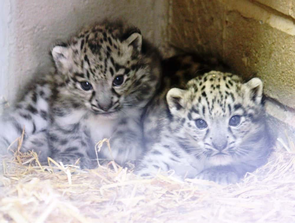 This is the moment two adorable endangered baby snow leopards took their first steps in public after being born at a British zoo.  See NTI story NTICUBS.  The cute cubs were welcomed into the world back in April and have spent three months getting used to their new surroundings.  The pair, who have yet to be named, are now on show at Twycross Zoo, Leics., after they were born to proud parents Suou and Irma.  Zoo staff hope the two will become the next generation of breeding females to help the future conservation of the elusive species.