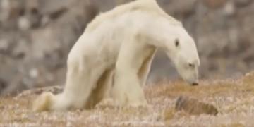 starving polar bear