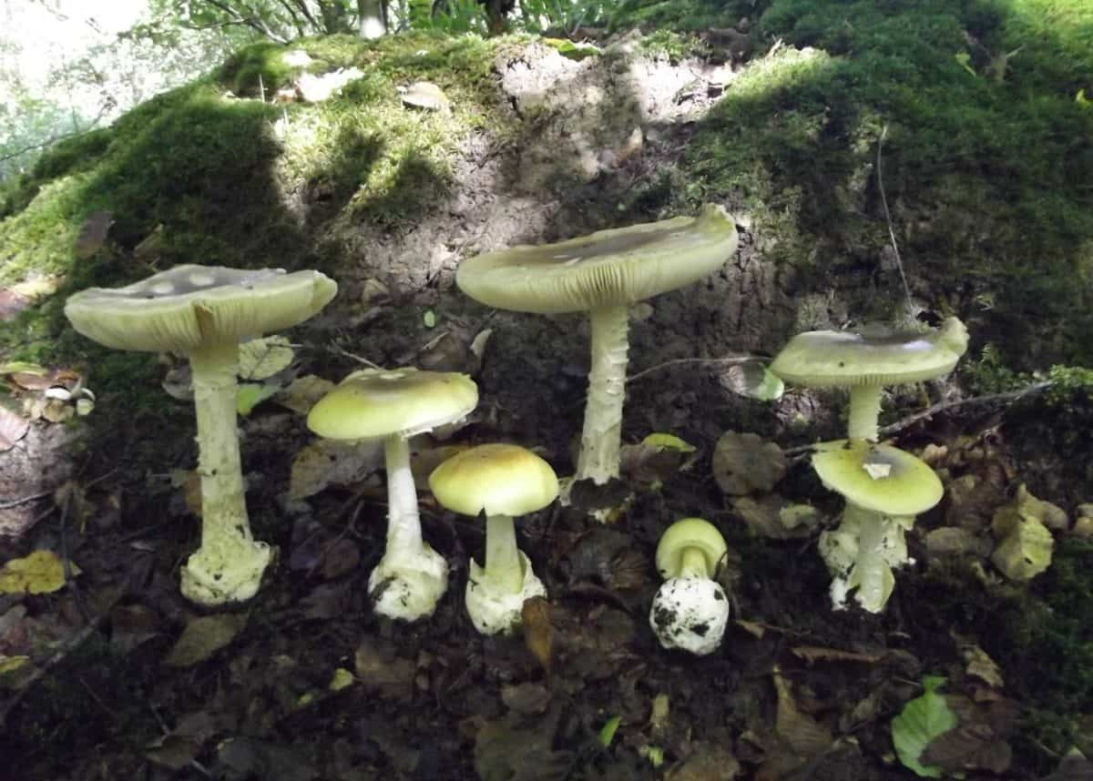 Deathcap Mushrooms