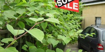 Japanese knotweed along the road