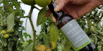 Barnaby's Brewhouse Green Tomato Saison