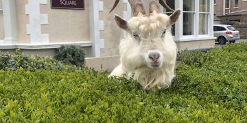 Handout photo dated 30/03/20 taken with permission from the Twitter feed of @AndrewStuart of the goats which have taken over the deserted streets of Llandudno, north Wales, where the residents are in lockdown during the coronavirus pandemic.